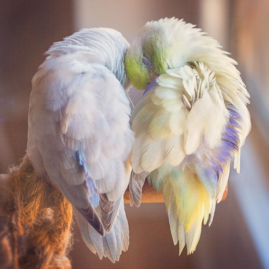 Elle capture l'amour de ses perruches avec des photos tendres couleurs pastel