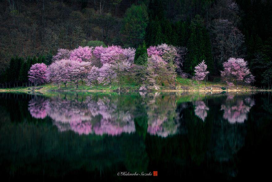 Japon - Le temps des cerisiers en fleurs Photographe-beaute-cerisiers-japon-11