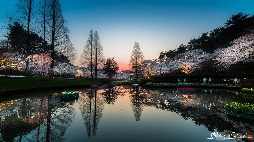 Japon - Le temps des cerisiers en fleurs Photographe-beaute-cerisiers-japon-13