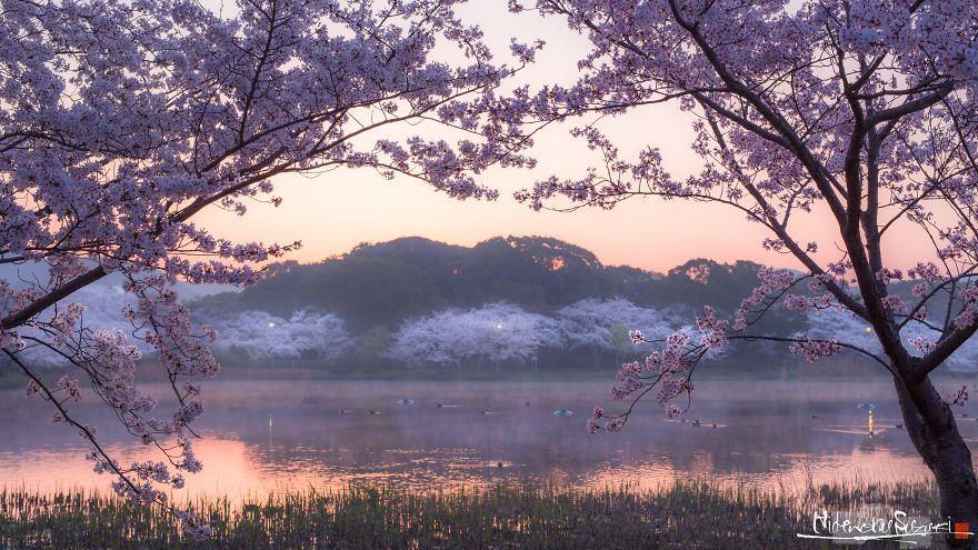 Japon - Le temps des cerisiers en fleurs Photographe-beaute-cerisiers-japon-14