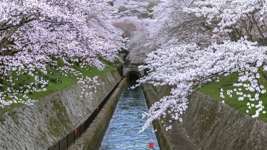 Japon - Le temps des cerisiers en fleurs Photographe-beaute-cerisiers-japon-15