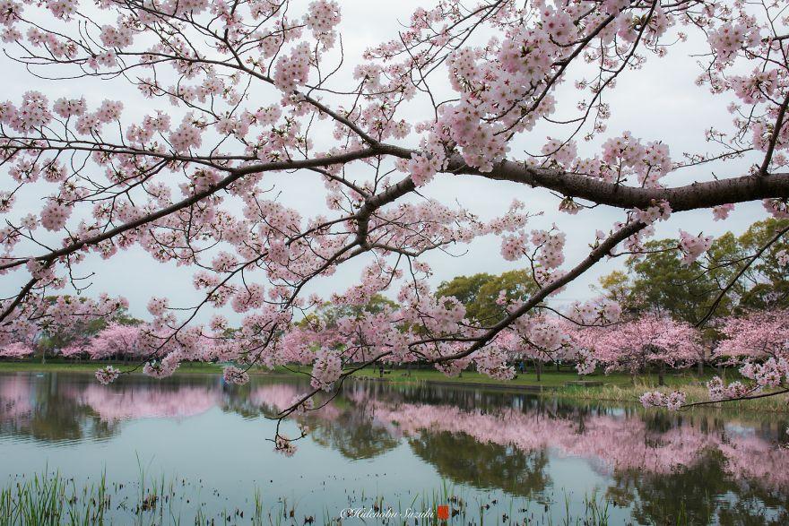 Japon - Le temps des cerisiers en fleurs Photographe-beaute-cerisiers-japon-16