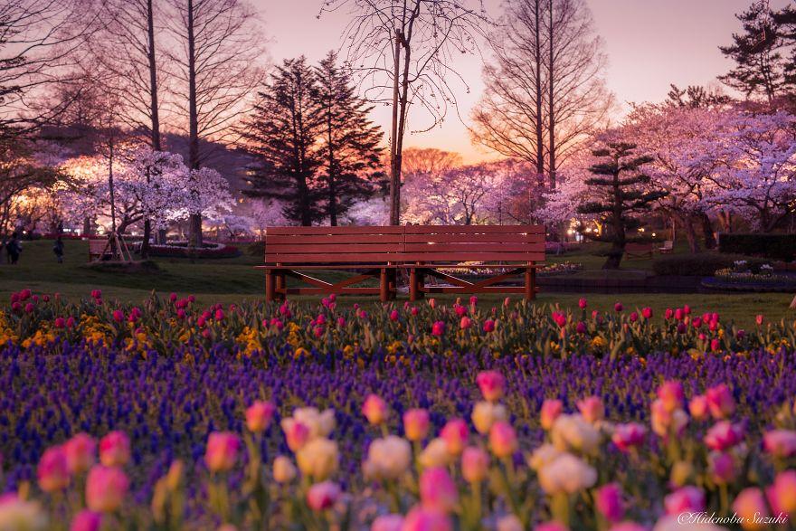 Japon - Le temps des cerisiers en fleurs Photographe-beaute-cerisiers-japon-17