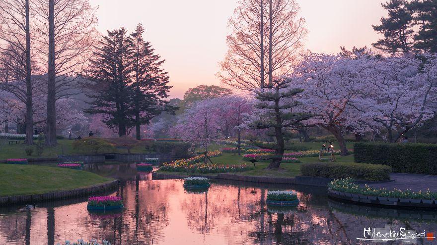 Japon - Le temps des cerisiers en fleurs Photographe-beaute-cerisiers-japon-19