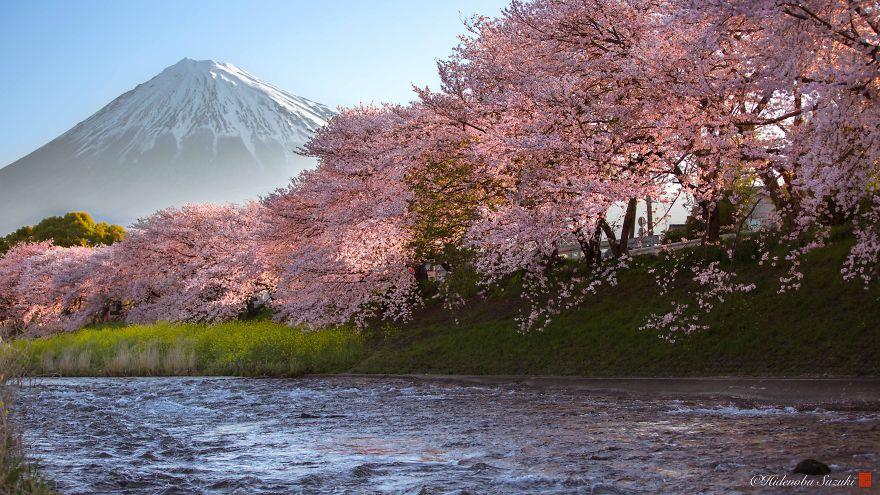Japon - Le temps des cerisiers en fleurs Photographe-beaute-cerisiers-japon-2