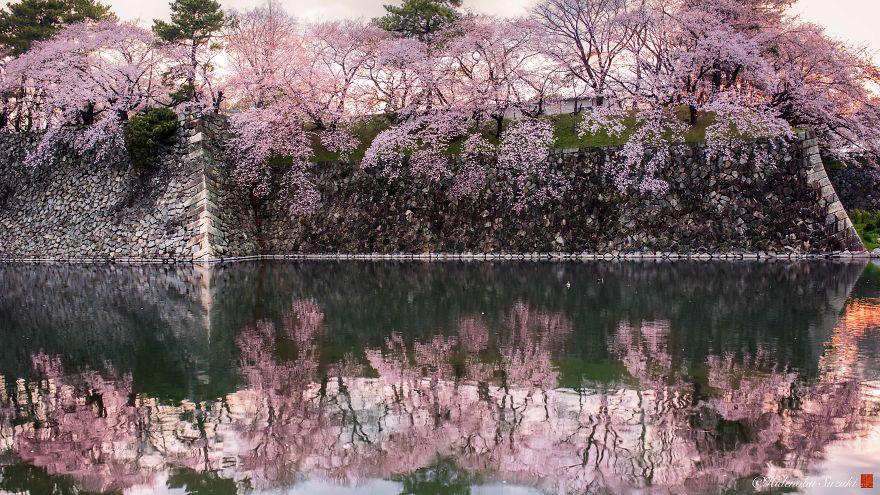 Japon - Le temps des cerisiers en fleurs Photographe-beaute-cerisiers-japon-20