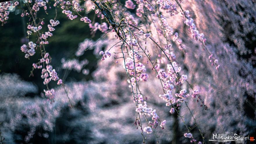 Japon - Le temps des cerisiers en fleurs Photographe-beaute-cerisiers-japon-21