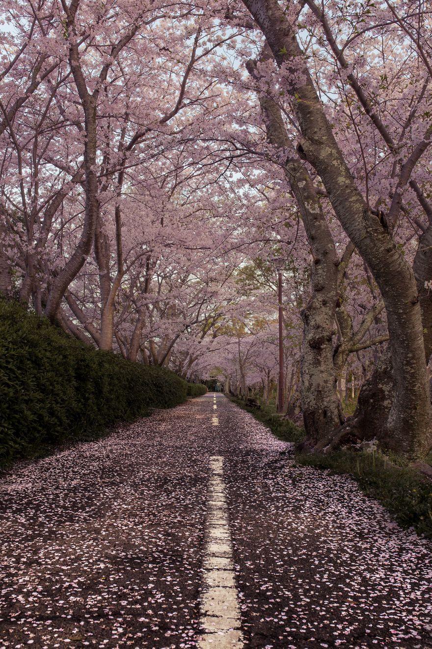 Japon - Le temps des cerisiers en fleurs Photographe-beaute-cerisiers-japon-3