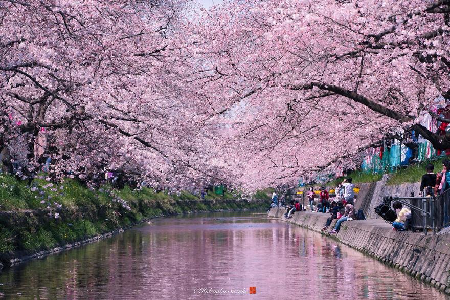 Japon - Le temps des cerisiers en fleurs Photographe-beaute-cerisiers-japon-6