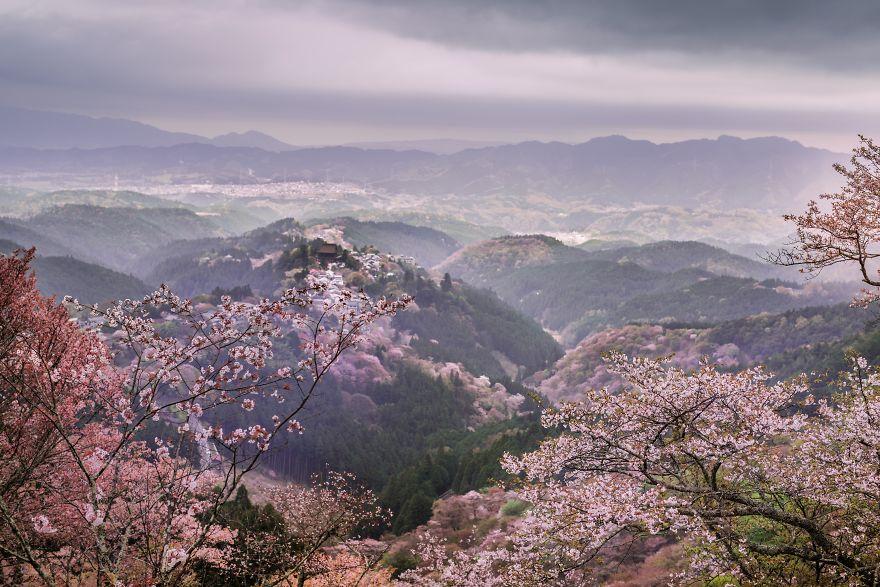Japon - Le temps des cerisiers en fleurs Photographe-beaute-cerisiers-japon-7