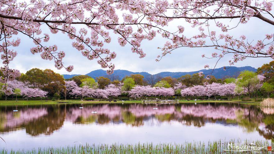 Japon - Le temps des cerisiers en fleurs Photographe-beaute-cerisiers-japon-8