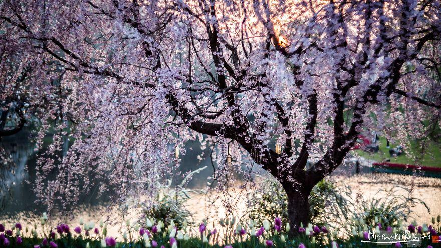 Japon - Le temps des cerisiers en fleurs Photographe-beaute-cerisiers-japon-9