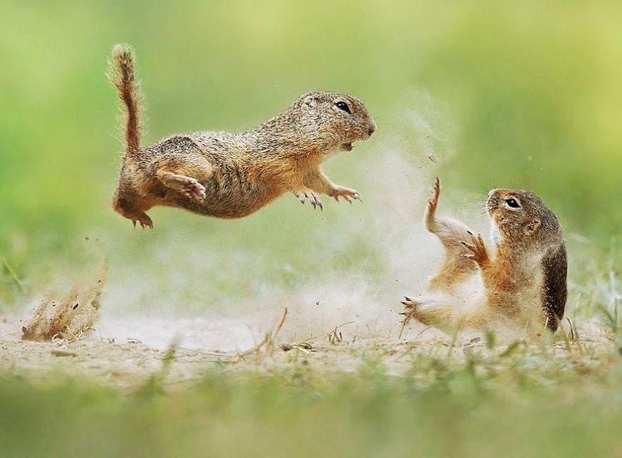 Scènes amusantes dans le quotidien des animaux sauvages Julian-rad-photos-animaux-sauvages-17