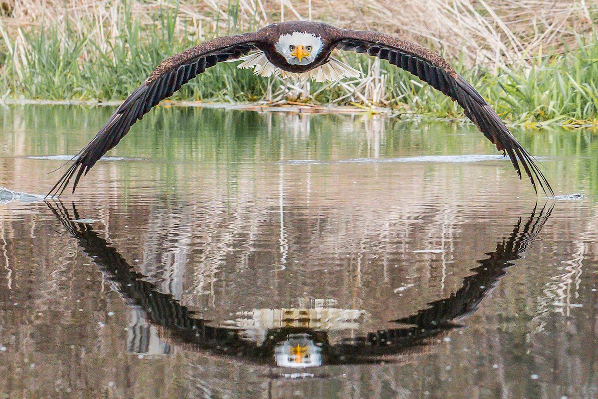 Le photographe Steve Biro a capturé un pygargue à la symétrie parfaite