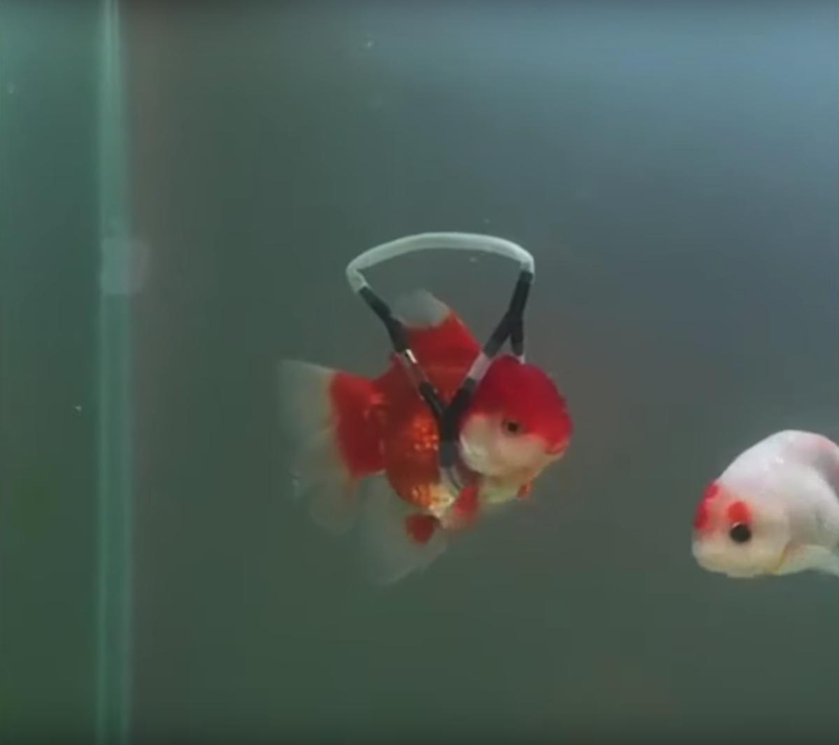Dispositif poisson rouge handicapé Henry Kim