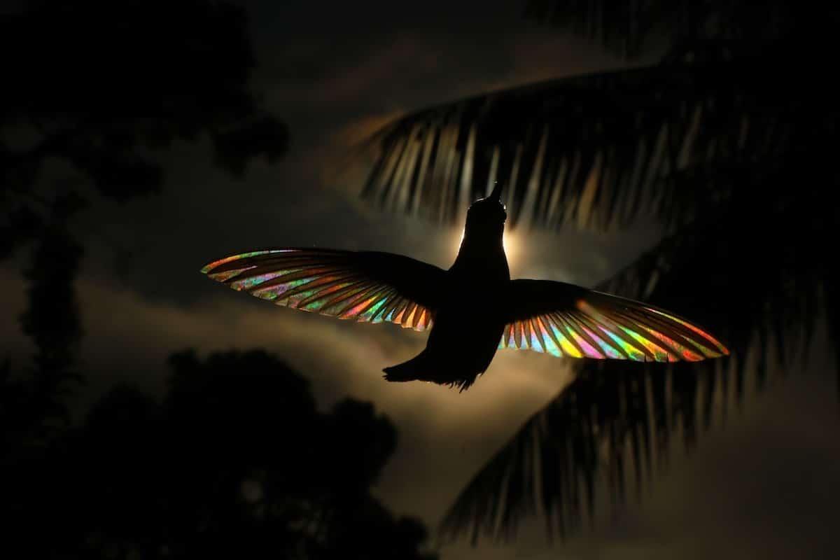 Photo Colibris Arc-en-Ciel Ailes Nature
