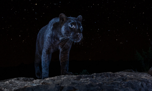 Un léopard noir sous un ciel étoilé : les photos rares de Will Burrard-Lucas